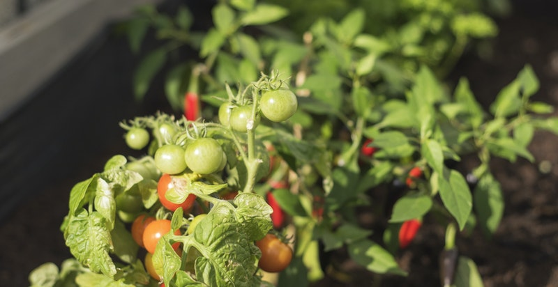 Urtebed/tomater