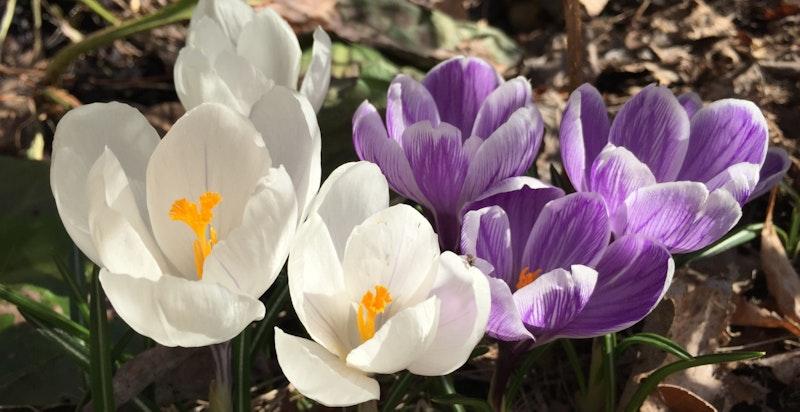 Krokus titter fram i plenen tidlig om våren
