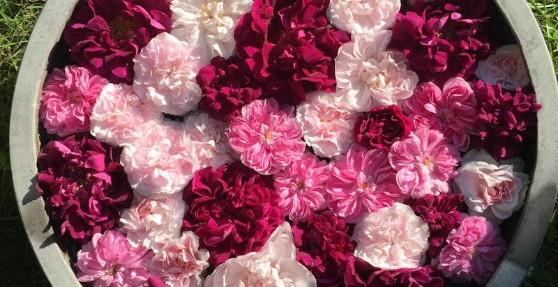 Ulike historiske roser fra hagen
