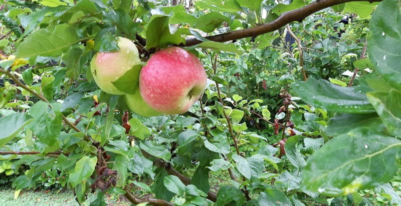 Epletreet i hagen bærer tre ulike sorter: Katinka, Aroma og Nanna.