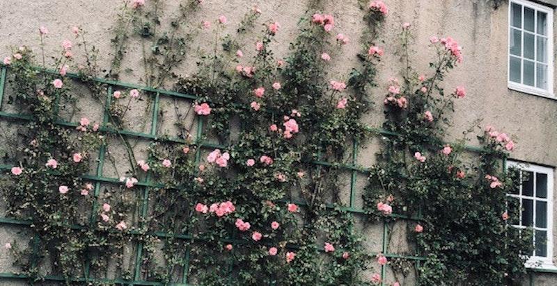 Flotte rosebusker vokser oppover veggen mot naboen
