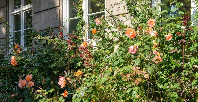 Rosene utenfor Solheimgata 1 og 3 er en attraksjon i nabolaget og blomstrer fra mai til september.